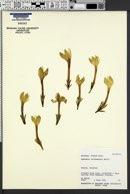 Apetahia raiateensis image