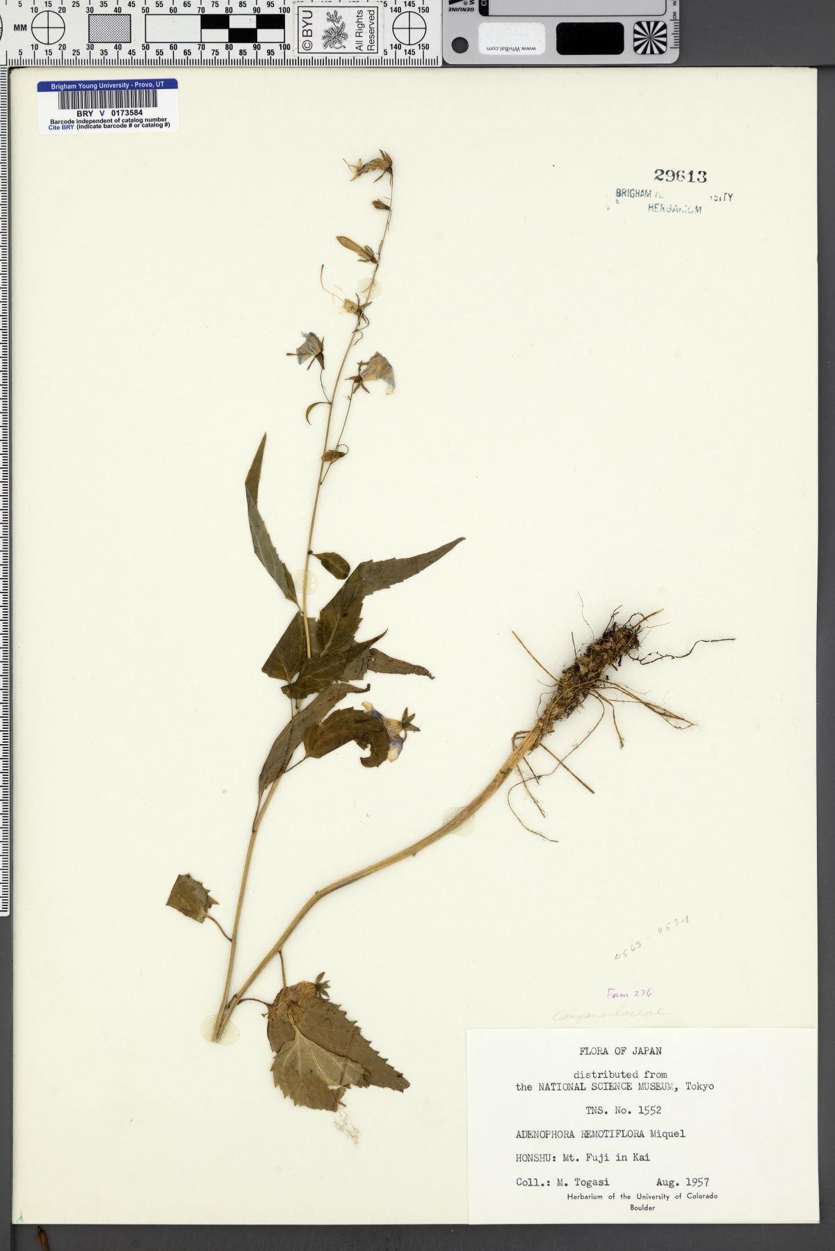Adenophora remotiflora image