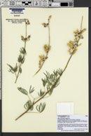 Lupinus argenteus subsp. moabensis image