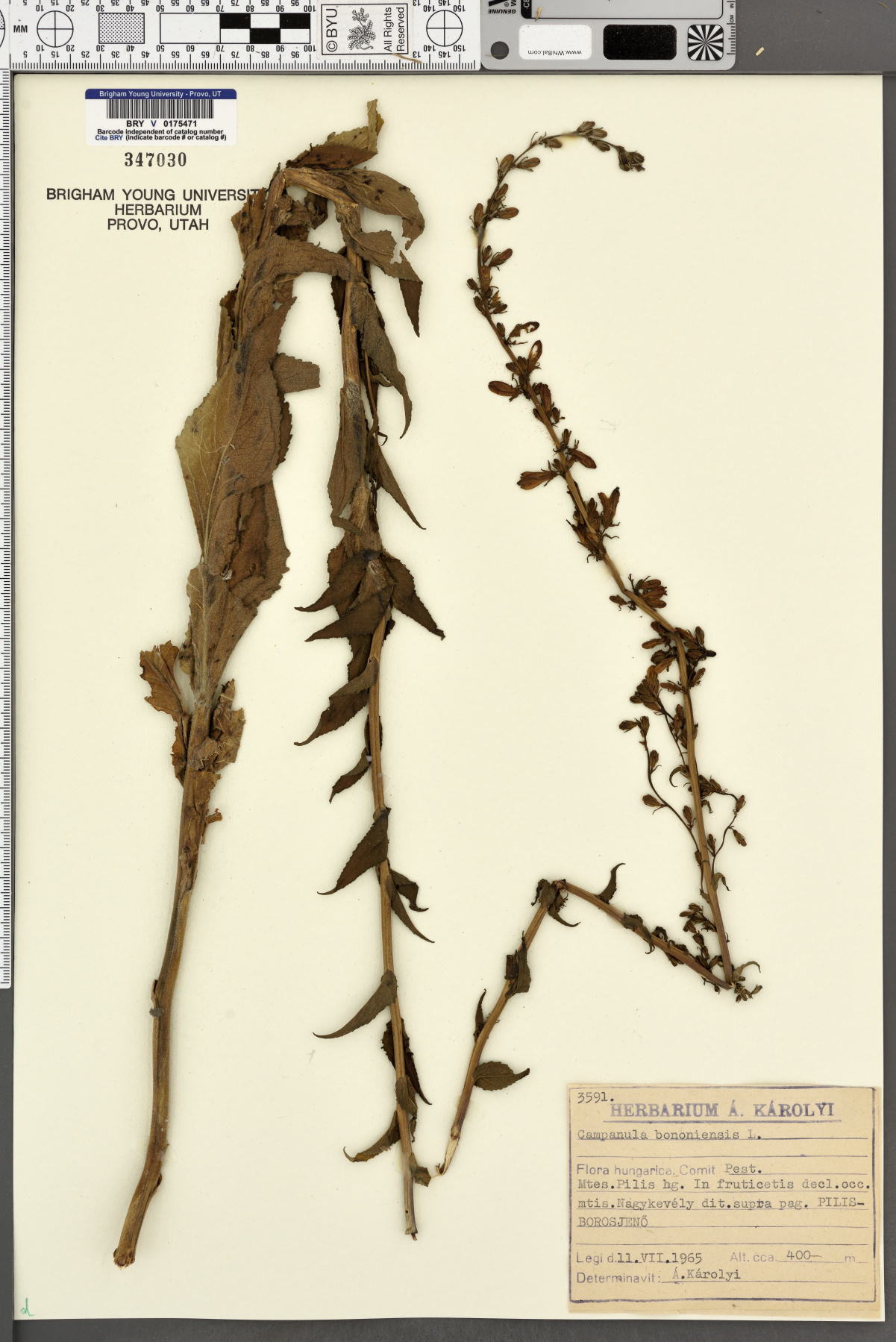 Campanula bononiensis image