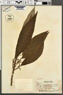 Image of Cyanea acuminata