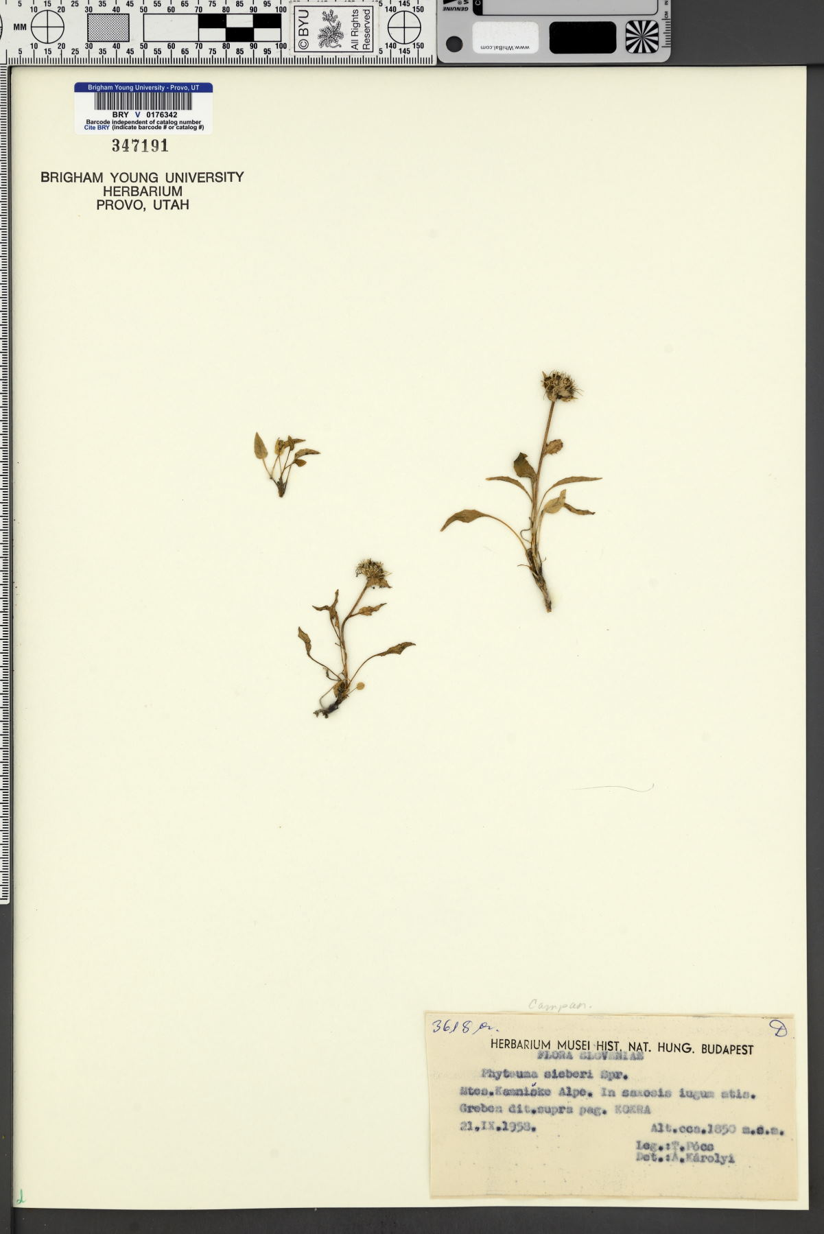 Phyteuma sieberi image