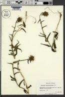 Phyteuma betonicifolium image