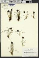 Phyteuma hemisphaericum image