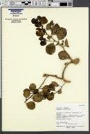 Image of Capparis cordifolia