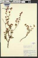 Eriogonum abertianum image