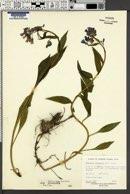 Mertensia paniculata image