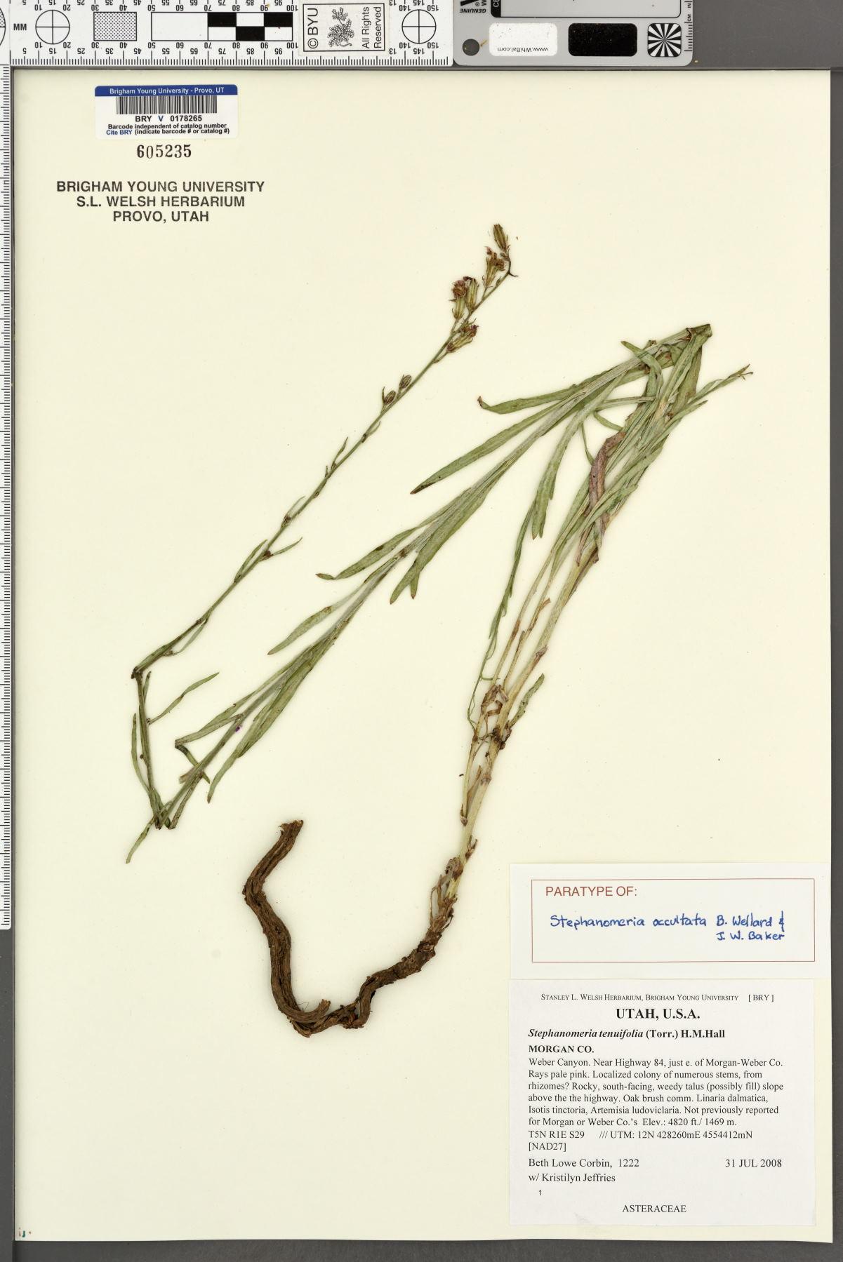 Stephanomeria occultata image