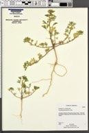 Cleomella palmeriana image