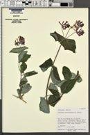 Lonicera cerviculata image