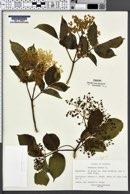 Sambucus ebulus image