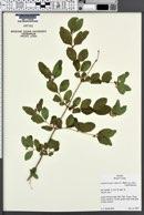 Symphoricarpos albus image