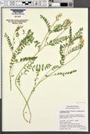 Astragalus accidens image