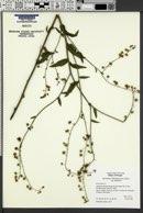 Hackelia hispida image