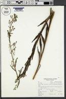 Hackelia floribunda image
