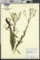 Hackelia patens image