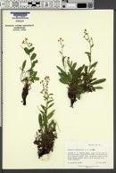 Hackelia sharsmithii image