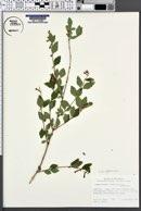 Symphoricarpos oreophilus image