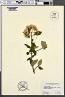 Viburnum burkwoodii image