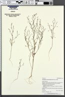 Gayophytum ramosissimum image