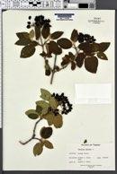 Viburnum lantana image