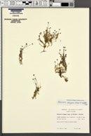 Image of Arenaria elegans