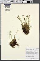 Arenaria nuttallii image