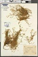 Image of Arenaria grandiflora