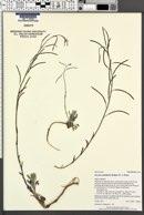 Boechera pallidifolia image