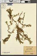 Arenaria montana image