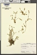Cerastium alpinum image