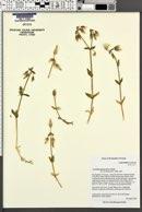 Image of Cerastium purpurascens