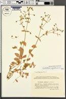 Cerastium aquaticum image