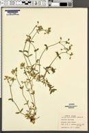 Image of Cerastium caespitosum
