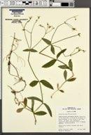 Image of Cerastium pauciflorum