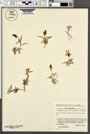 Image of Dianthus callizonus