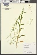 Gypsophila elegans image