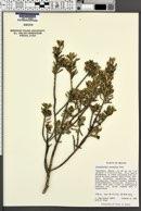 Image of Leucophyllum revolutum