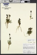 Lychnis montana image