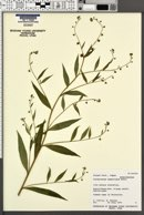 Image of Cynoglossum asperrimum