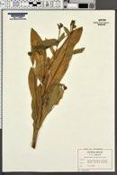 Image of Cynoglossum germanicum