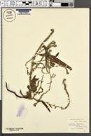 Image of Echium lycopsis