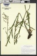 Hackelia brevicula image