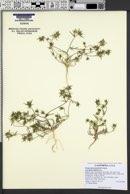 Navarretia peninsularis image