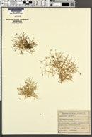 Image of Moehringia muscosa
