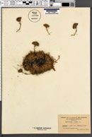 Image of Saponaria lutea