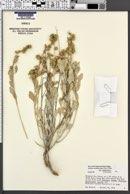 Atriplex acanthocarpa subsp. acanthocarpa image