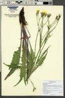 Crepis intermedia image