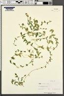 Stellaria crispa image