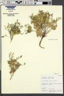 Astragalus geyeri image